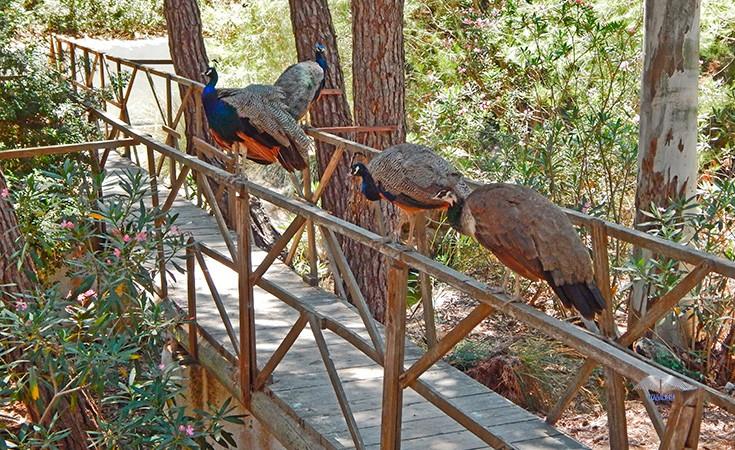 Plaka šuma sa paunovima