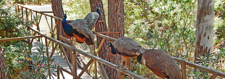 Plaka Peacock forest