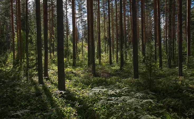 El Pardo forest