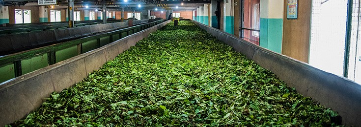 Uva Halpewatte Tea Factory